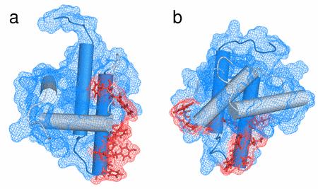 Oligomerizační rozhraní WT a R55F MA.