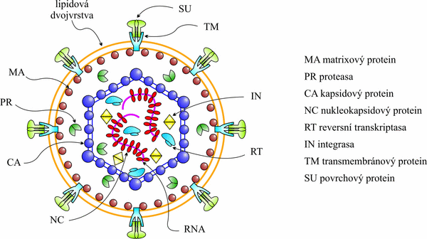 Model retroviru